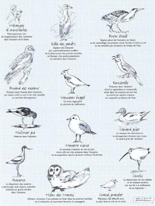 Oiseaux de l'estuaire - Dessin Fabrice Ronget